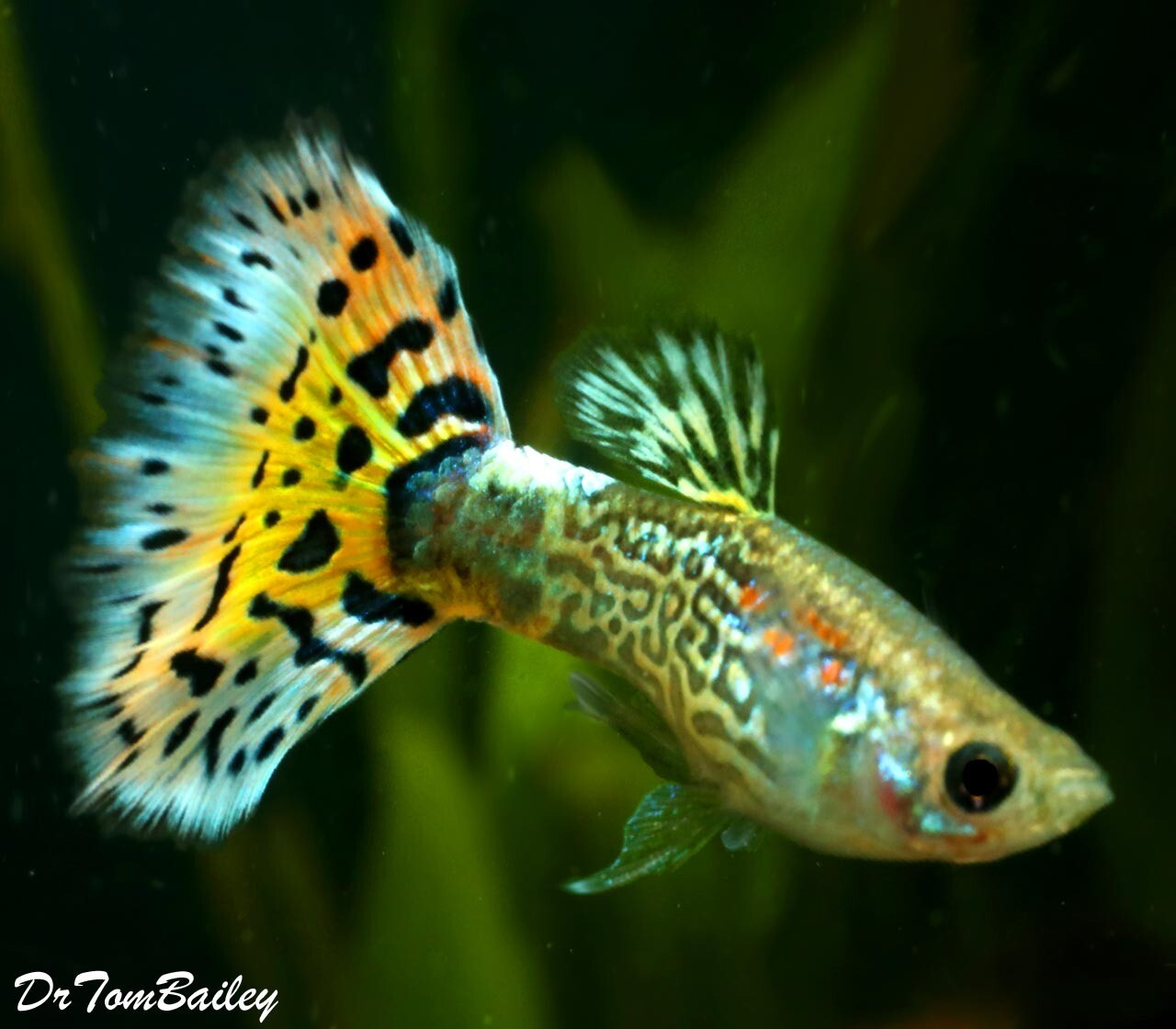 """Premium MALE Assorted Snakeskin Fancy Guppies, Size: 1"""" to 1.5"""""""