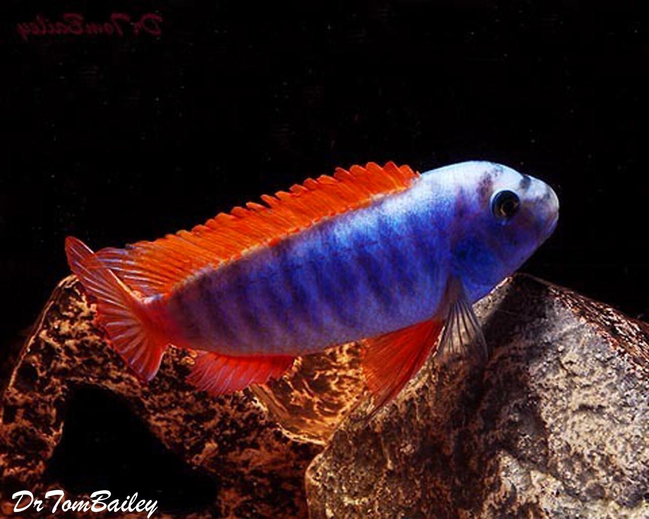 "Premium Labeotropheus Trewavasae Mbuna Cichlid from Lake Malawi, Size: 2"" to 2.5"""