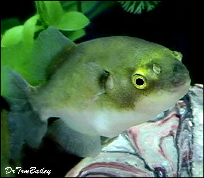 """Premium New Rare, Freshwater Avocado Pufferfish, Size: 2"""" to 2.5"""""""