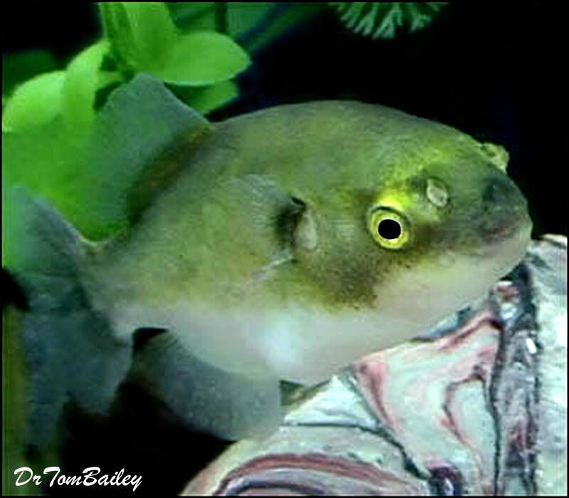 """Premium New Rare, Freshwater Avocado Pufferfish, Size: 3.5"""" to 4"""""""