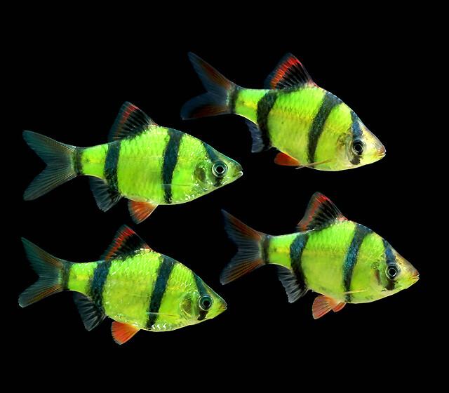 "Premium Electric Very-Green GloFish Tiger Barb, Size: 1"" to 1.5"""