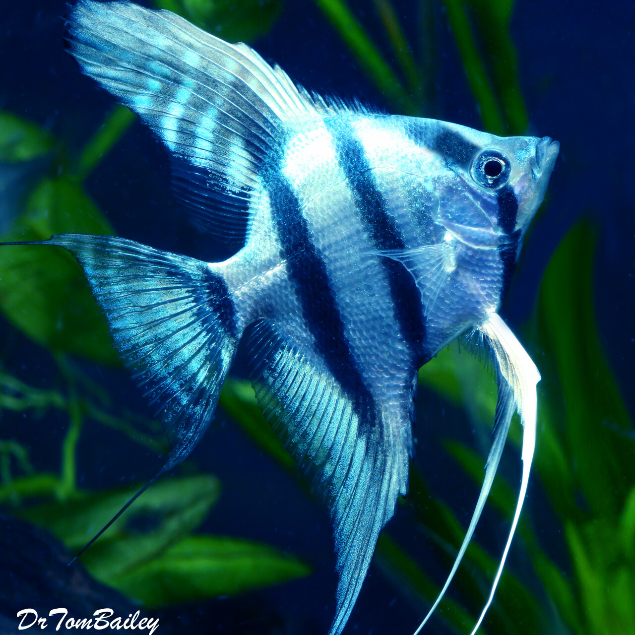 "Premium Rare Blue Cobalt Zebra Angelfish, Size: 1.5"" to 2"""