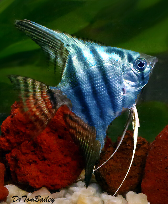 "Premium Philippine Blue Angelfish, Size: 3.5"" to 4"""