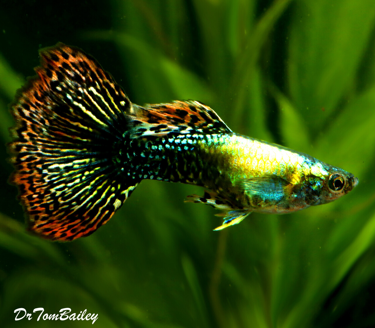 "Premium MALE Fancy Guppies in Assorted Colors, Size: 1"" to 1.2"""