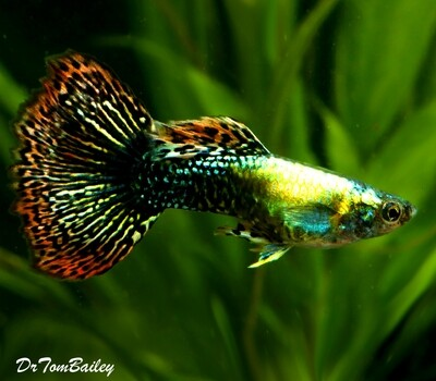 Premium MALE Fancy Guppies in Assorted Colors, Size: 1