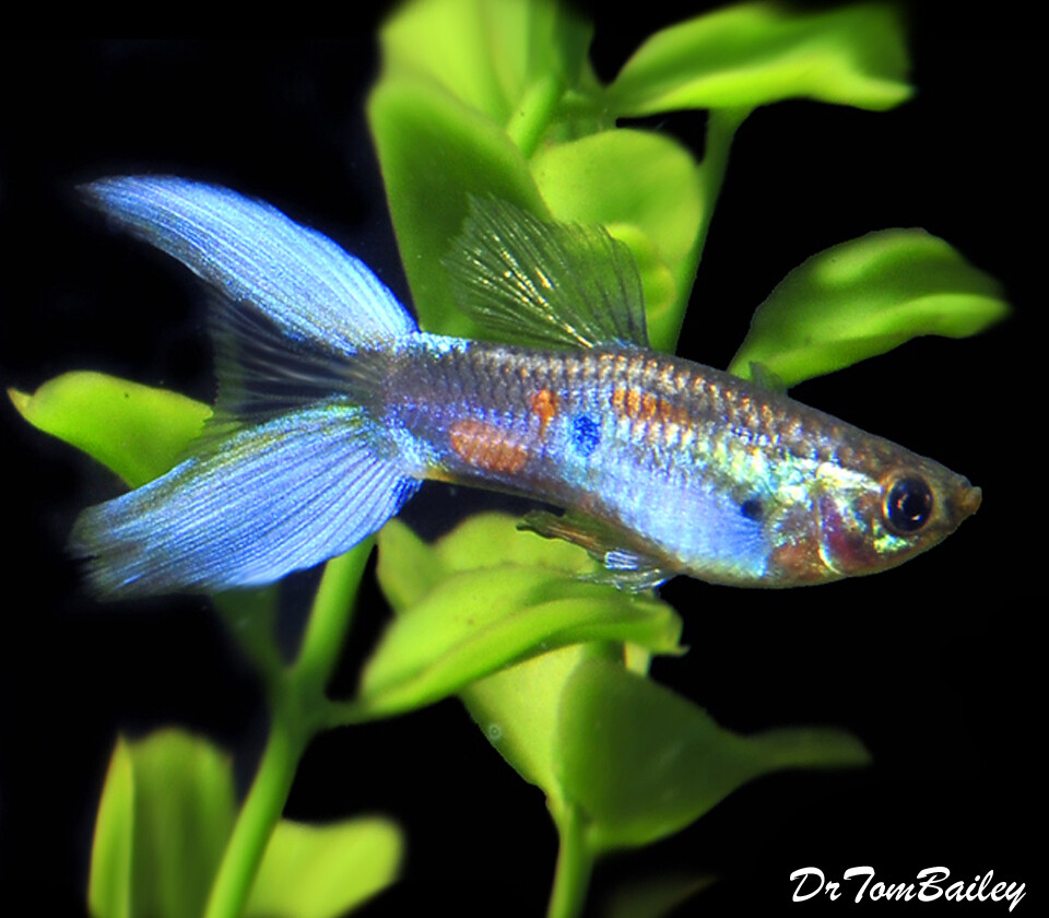 "Premium MALE Assorted Lyretail Guppies, Size: 1"" to 1.5"""