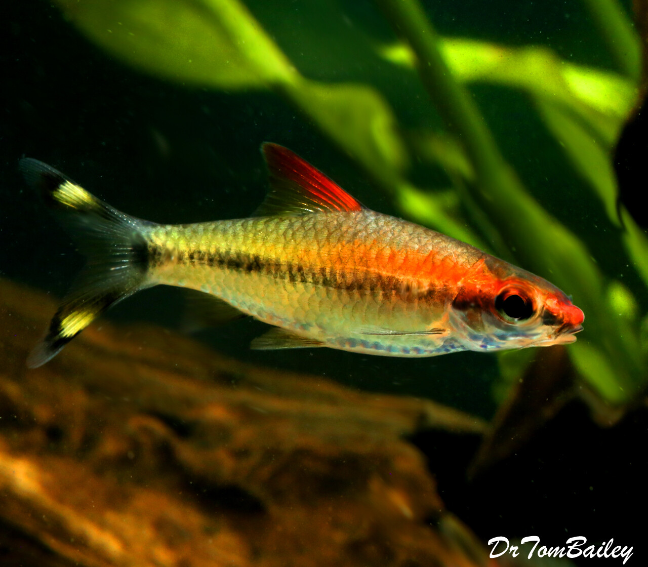 """Premium Rare and New, Golden Denison's Red Roseline Torpedo Barb, Size: 2"""" to 2.5"""""""