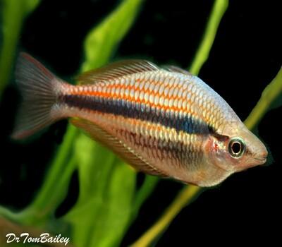 Premium Rare Blyth River Trifasciata Rainbowfish, Size: 2