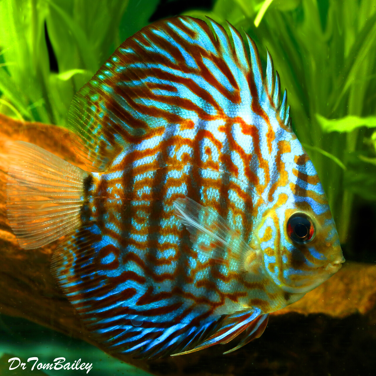 Premium Rare WYSIWYG Royal Purple Discus