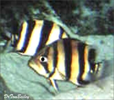 Premium WILD, Indonesian Gold Tiger Datnioides, Size: 2