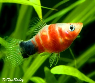 Premium Rare and New, Tiger Ruby Mickey Mouse Platy, Size: 0.75