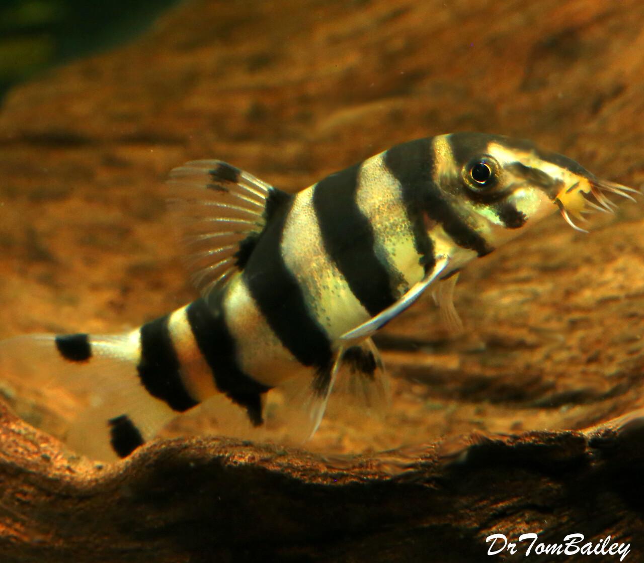 """Premium Rare and New, Golden Zebra Loach, Botia histrionica, Size: 1.5"""" to 2"""""""