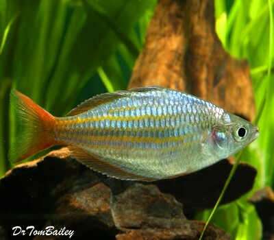 Premium New and Rare, Red Laser Dwarf Rainbowfish, Size: 1.5