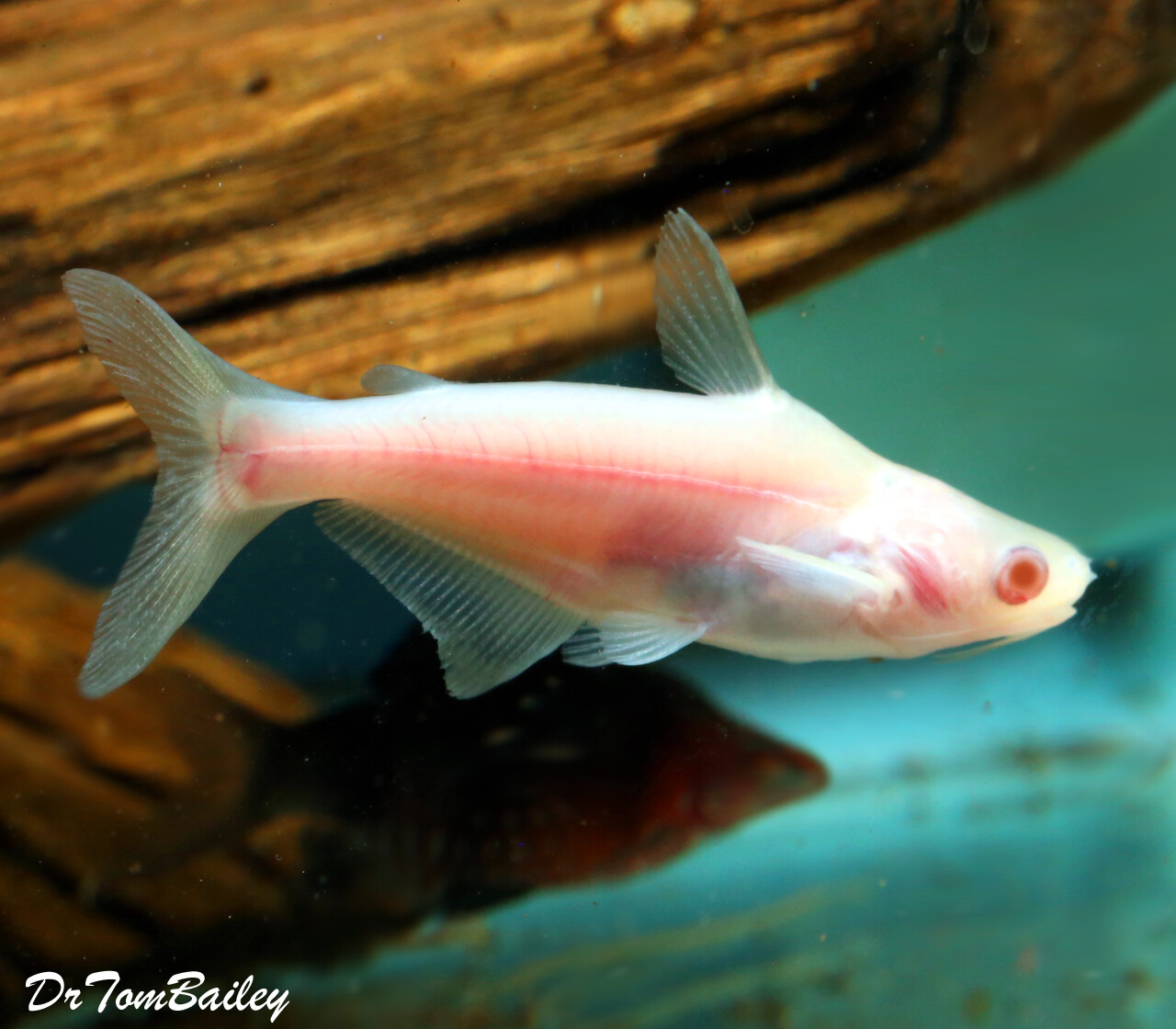 "Premium New and Rare, Albino Pangasius Catfish, Size: 2"" to 2.5"""