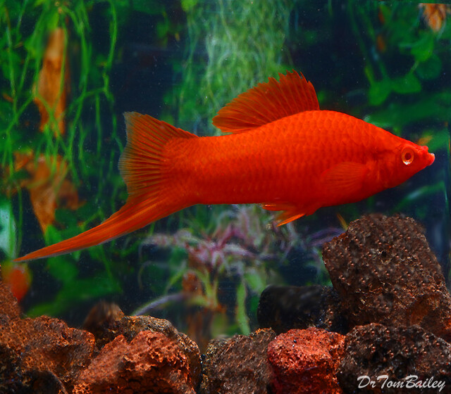 """Premium MALE Red Velvet Swordtail, Males Only, Size: 1.5"""" to 2"""""""