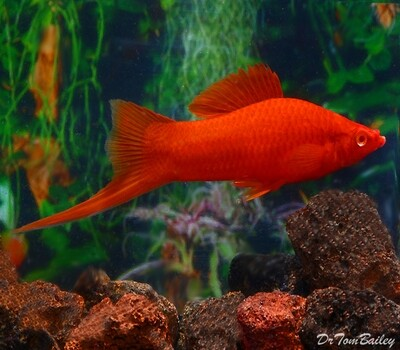 Premium MALE Red Velvet Swordtail, Males Only, Size: 1.5