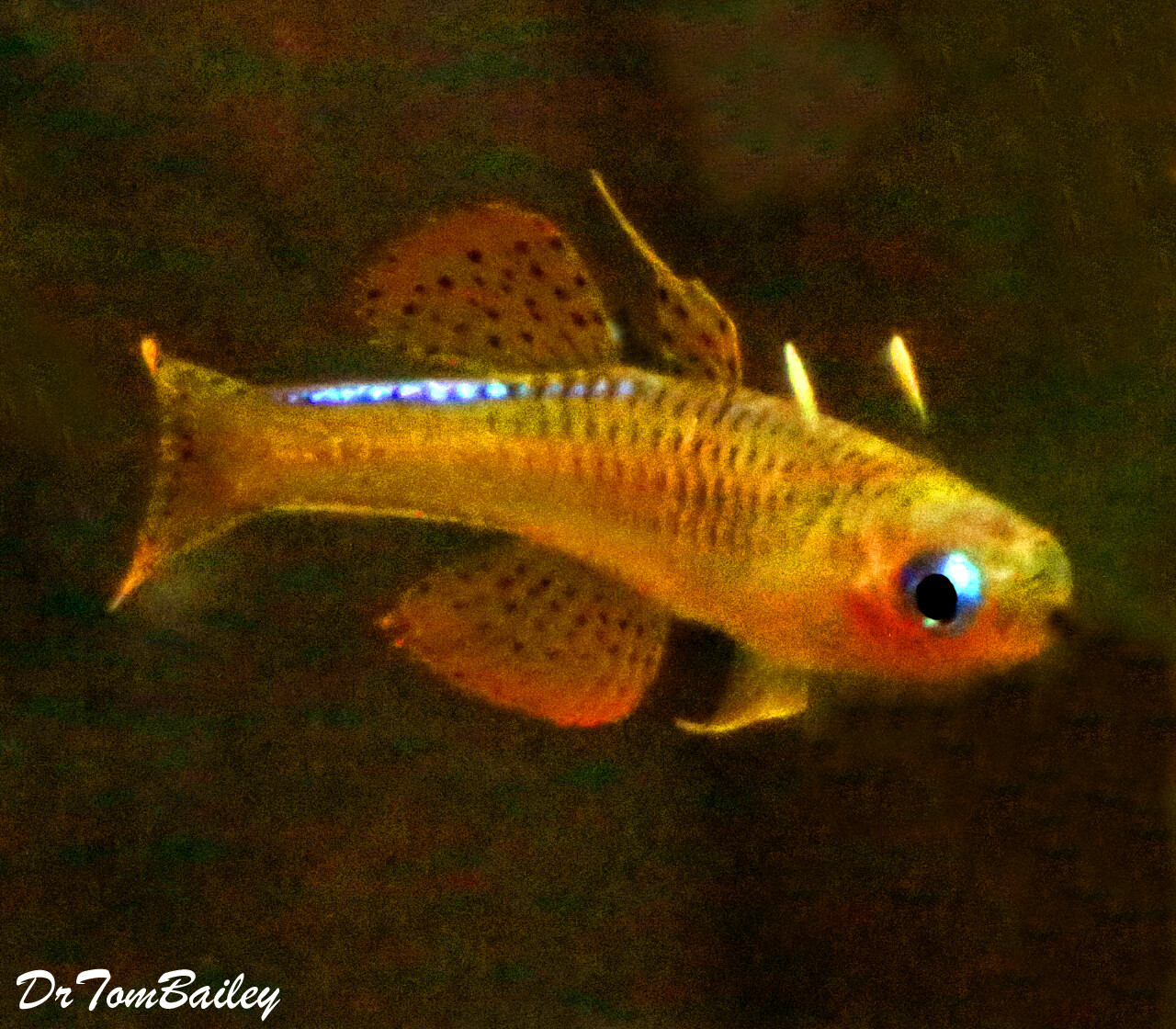 "Premium New and Rare, Red Neon Blue Eyes, Pseudomugil Luminatus, Nano Fish, Size: 0.75"" to 1"""