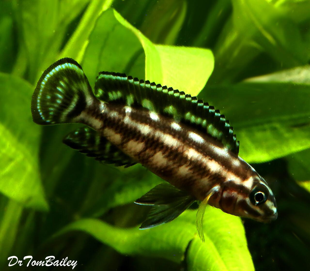 "Premium Lake Tanganyika Plaid Juli Cichlid, Julidochromis marlieri, Size: 1.5"" to 2"""