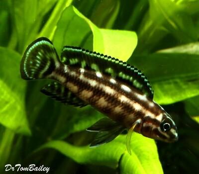 Premium Lake Tanganyika Plaid Juli Cichlid, Julidochromis marlieri, Size: 1.5