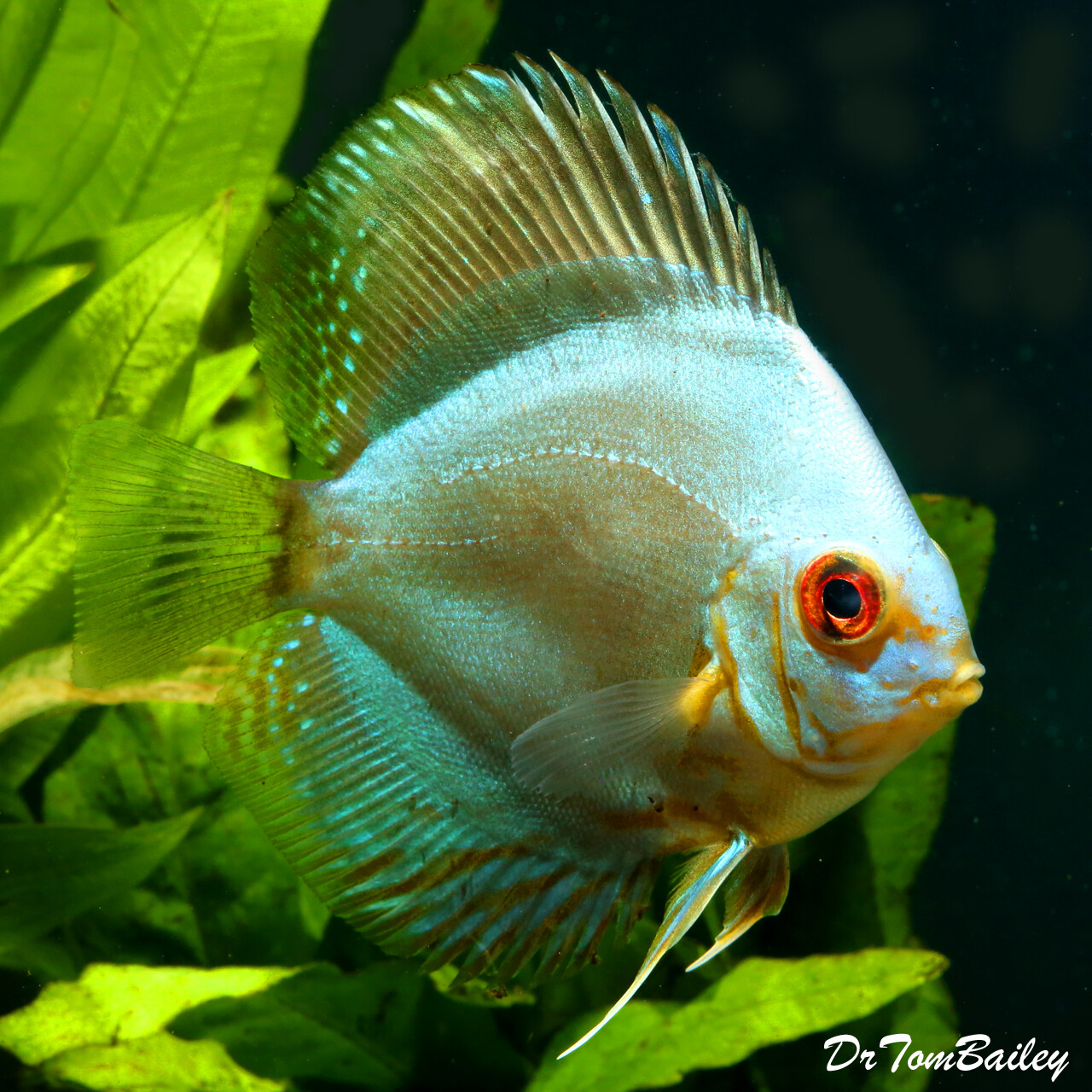 "Premium Blue Diamond Discus, Size: 3"" to 3.5"""