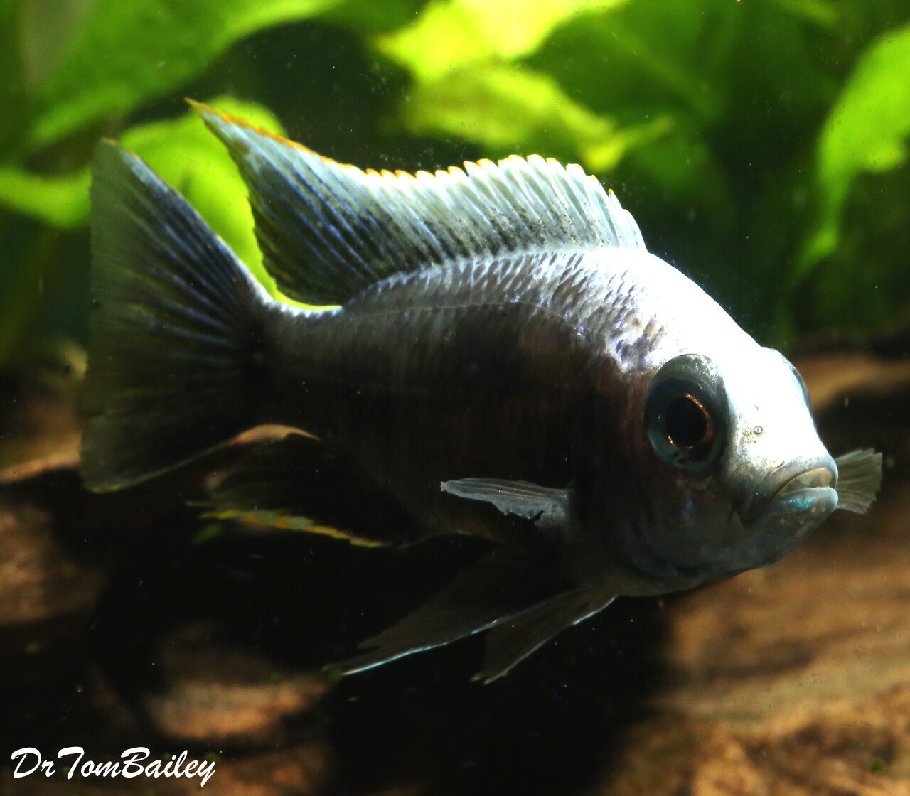 """Premium PAIR of Lake Malawi Copadichromis Trewavasae, one male and one female, in our Tank S-56, Size: 3"""" to 3.5"""""""