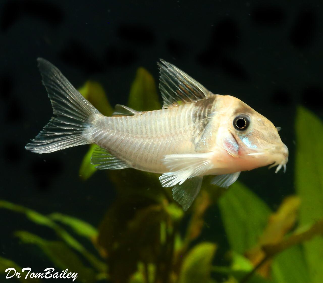 "Premium WILD and Rare Virginiae Corydoras Catfish, Size: 1.5"" to 2"""