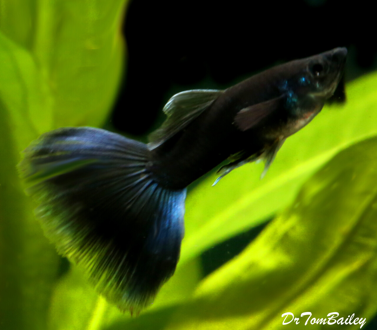 """Premium MALE Rare Moscow Black Fancy Guppy, Size: 1"""" to 1.5"""""""