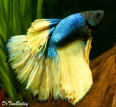 Premium MALE Blue-Green Mustard Betta Fish, Size: 2