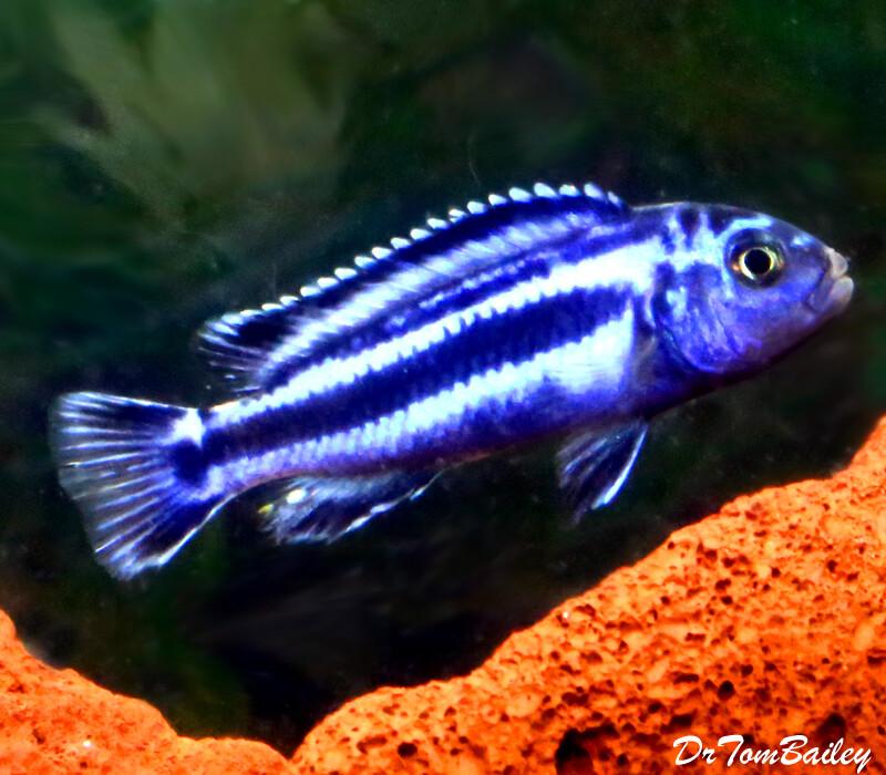 """Premium New Maingano Malawi Mbuna Cichlid,  Melanochromis cyaneohabdos, Size: 2"""" to 2.5"""""""