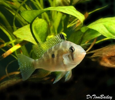 Premium Rare and New, Threadfin Heckelii Cichlid, Acarichthys heckelii, Size: 2.5