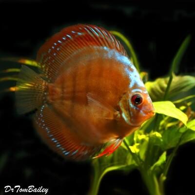 Premium Rare Alenquer Red Discus Fish, Size: 2.5
