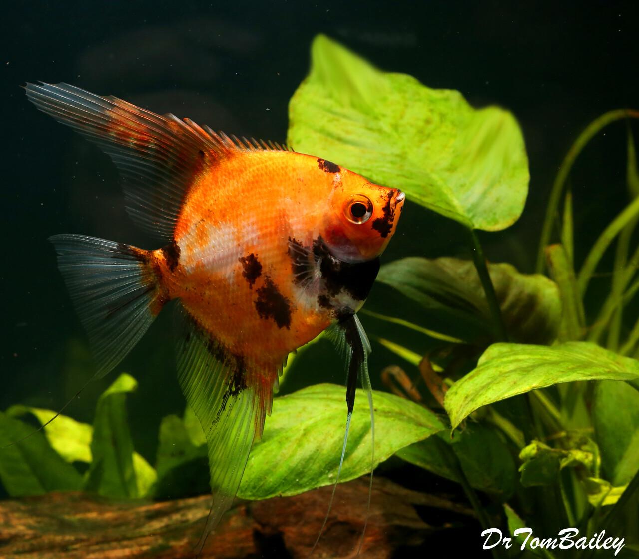 """Premium New Rare, Red Koi Angelfish, Size: 1.5"""" to 2"""""""