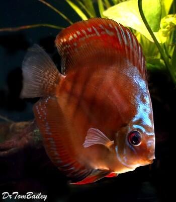 Premium Rare Alenquer Red Discus Fish, Size: 4