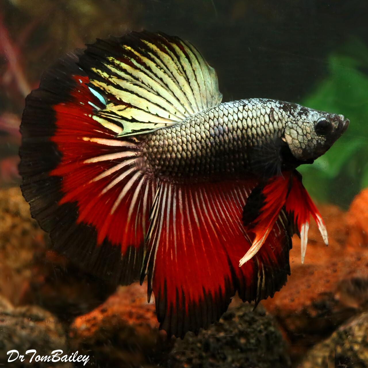 "Premium MALE Assorted Dragonscale Halfmoon Betta Fish, Size: 2.5"" to 3"""