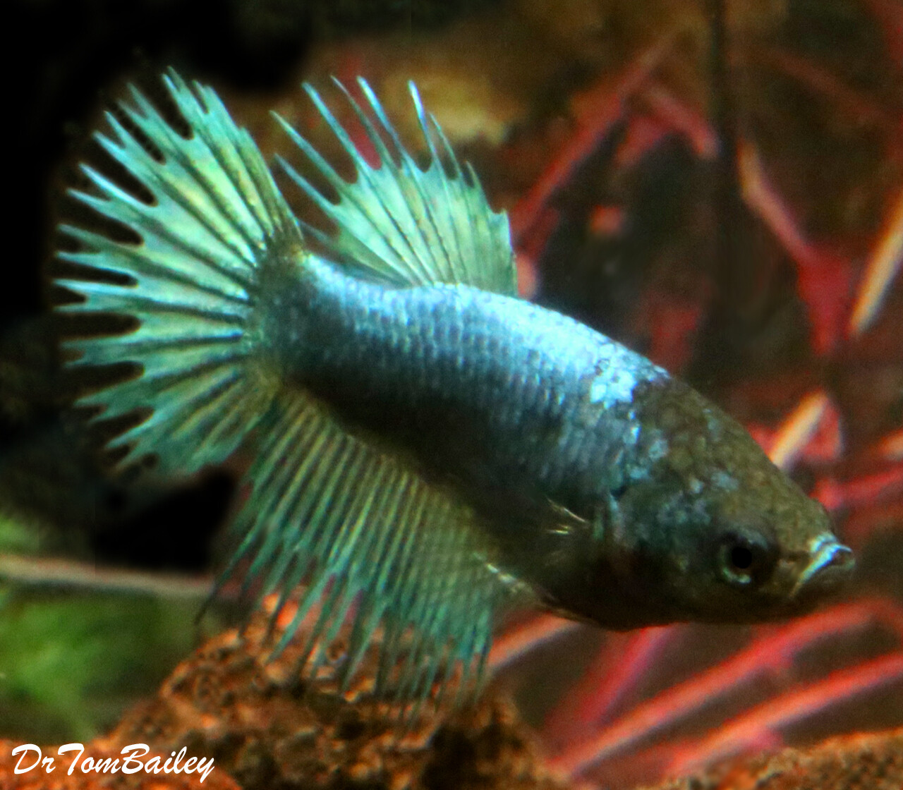 """Premium FEMALE Green Crowntail Betta Fish, Size: 1"""" to 1.5"""""""