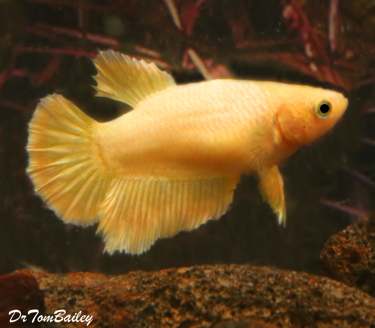 "Premium FEMALE Rare Golden Halfmoon Betta Fish, Size: 1.5"" to 2"""