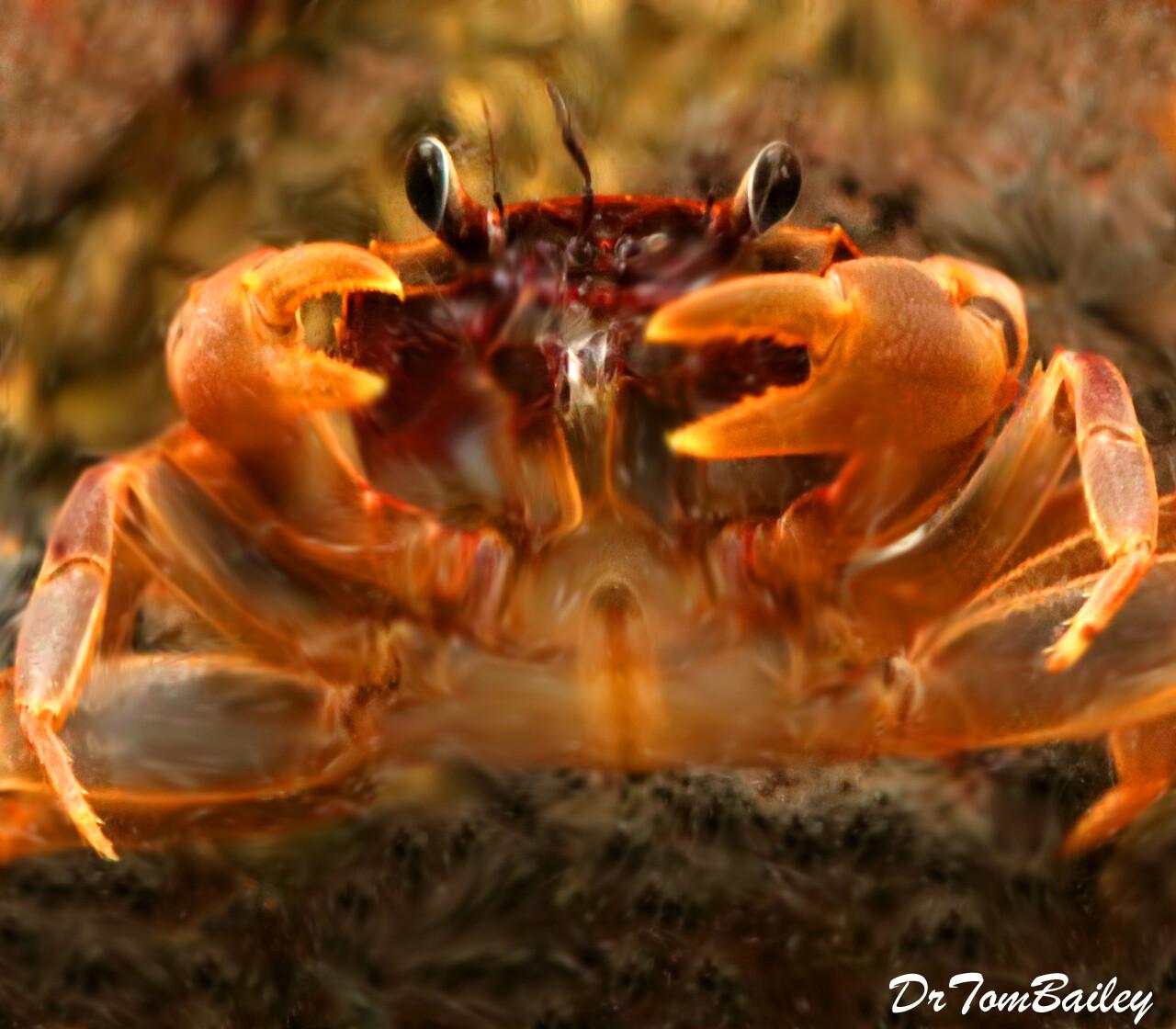 "Premium Freshwater Aquatic Matano Crab, Size: 1.5"" to 2"""