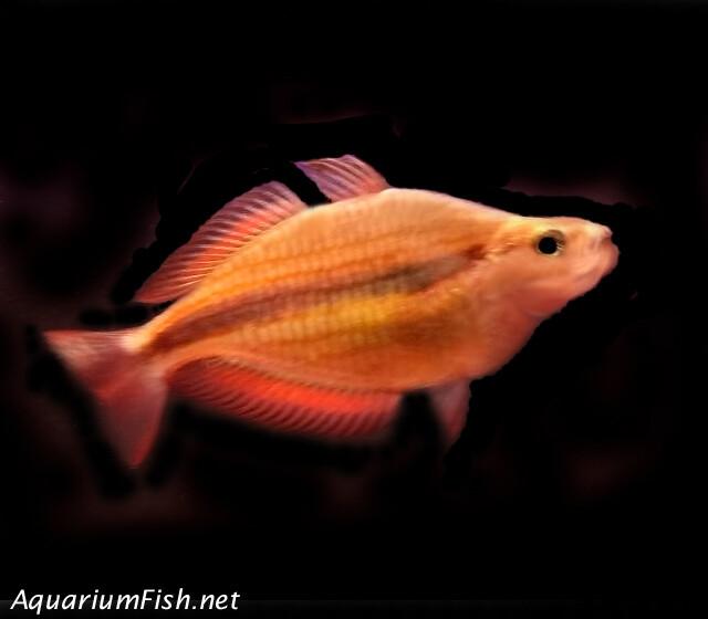 "Premium Rare Goyder River Trifasciata Rainbowfish, Size: 2"" to 2.5"""