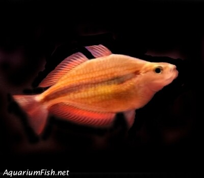Premium Rare Goyder River Trifasciata Rainbowfish, Size: 2