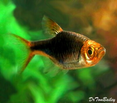 Premium Rare Black and Purple Harlequin Rasbora, Nano Fish, Size: 1