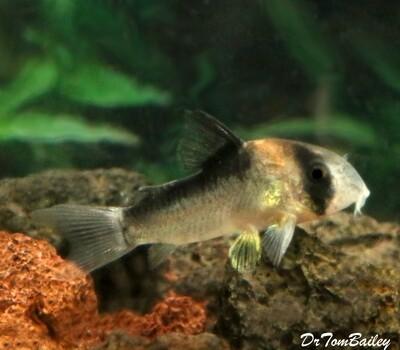 Premium Rare and New, Adolfoi Corydoras Catfish, Tank Raised, Size: 0.75