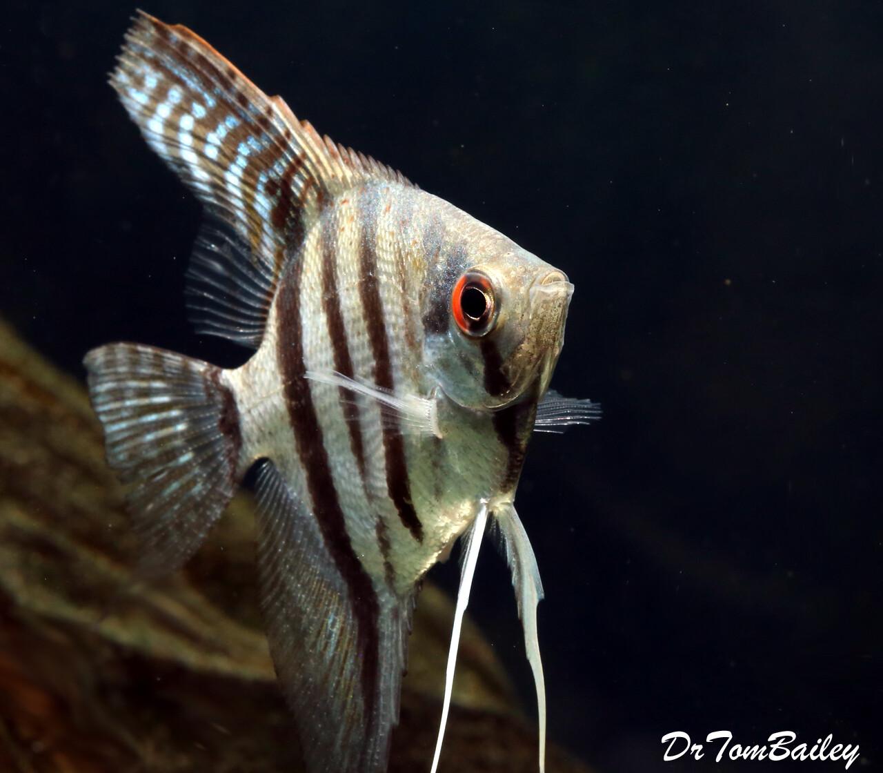 "Premium Tiger Angelfish, Size: 2"" to 2.5"""