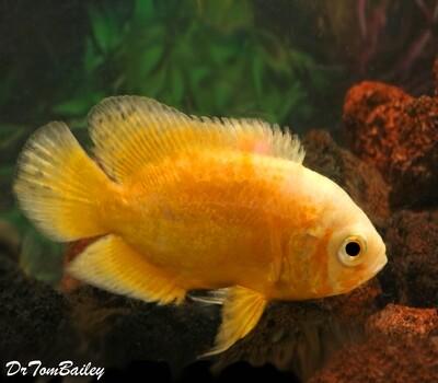 Premium Rare Lemon Yellow Oscar Cichlid, Size: 2.5