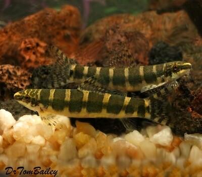 Premium New and Rare, WILD Serpent Loach, Serpenticobitis octozona, Size: 2