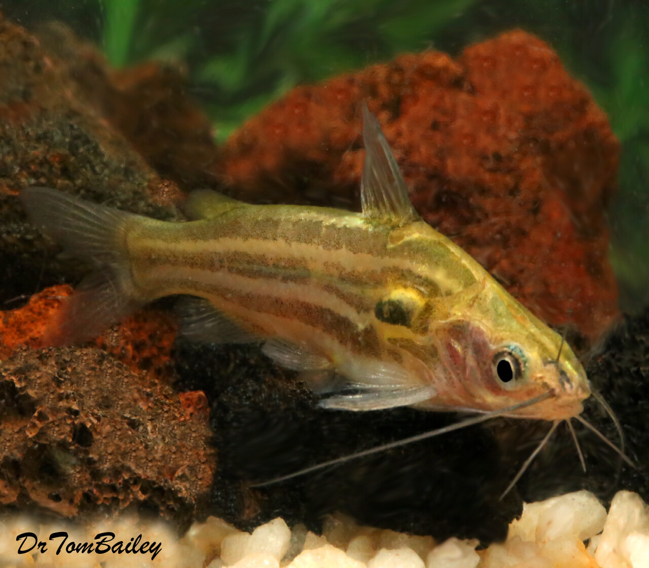 "Premium WILD, Rare Golden Mystus Tengara Catfish, Size: 2.5"" to 3"""