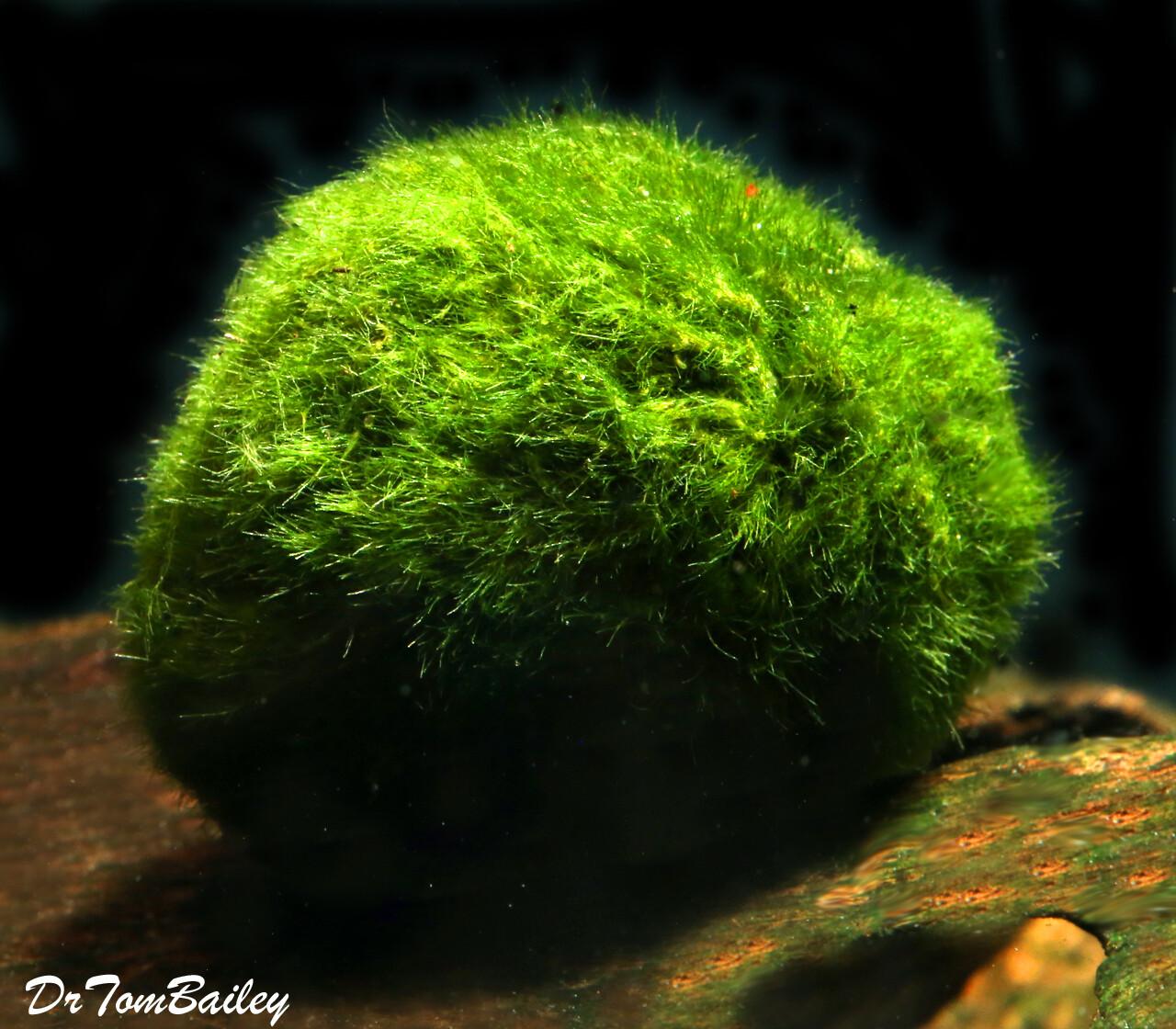 "Premium Marimo Moss Ball Plant, Size: 1"" to 1.5"""