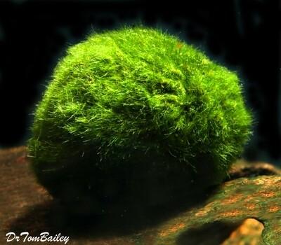 Premium Marimo Moss Ball Plant, Size: 1