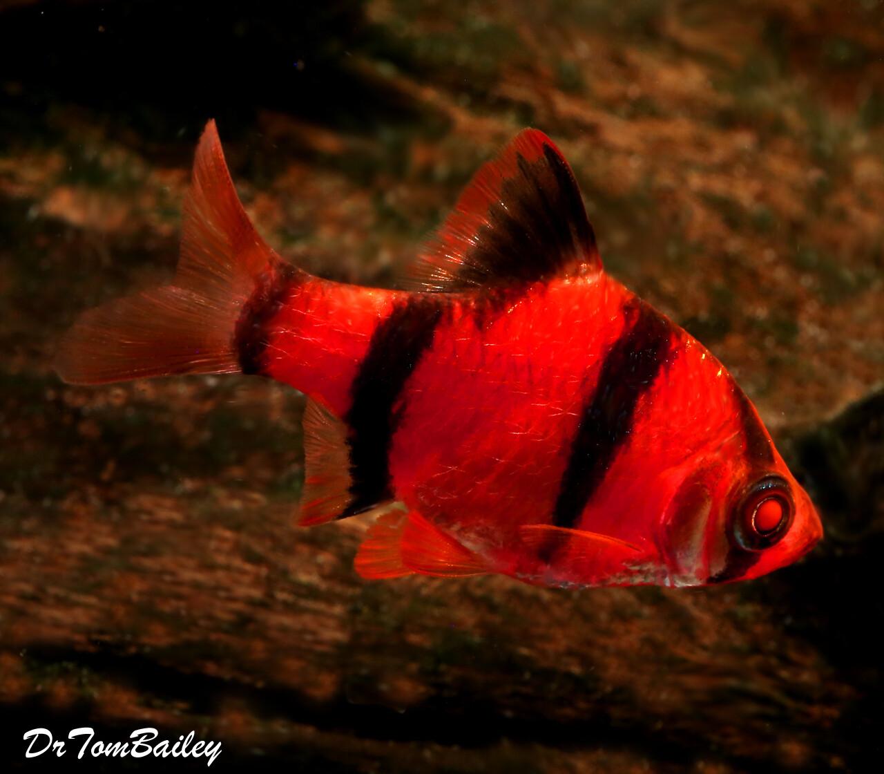 """Premium Starfire Very-Red GloFish Tiger Barb, Size: 1"""" to 1.5"""""""