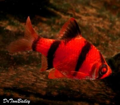 Premium Starfire Very-Red GloFish Tiger Barb, Size: 1