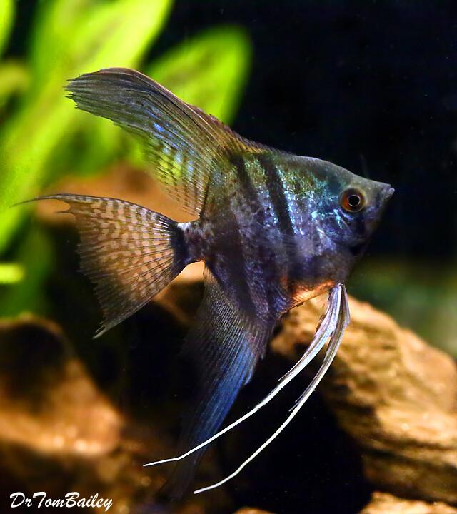 "Premium Zebra Lace Angelfish, Size: 2"" to 2.5"""